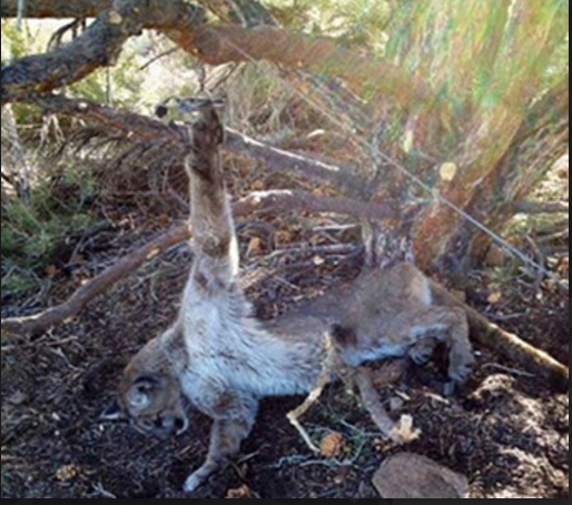 Photo distributed by reporter Tom Knudsen of a cougar Nevada. Please read his story herehttps://www.instagram.com/p/BAsTyO_SLm8/