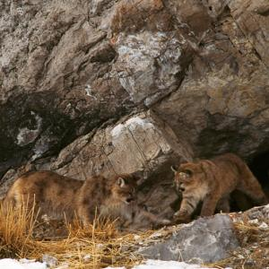 Image of Two cougar kittens at play outside their den on Miller Butte, outside of Jackson, WY.