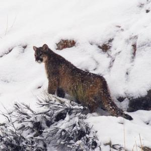 Image of This cougar kitten has almost entirely lost its spots, and is nearing sexual maturity.