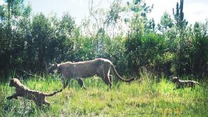 Image of The Florida panther is a subspecies of the cougar. In this rare photo captured by a camera trap near the Florida Everglades, a mother panther and her kittens stroll through the palmetto scrub brush.