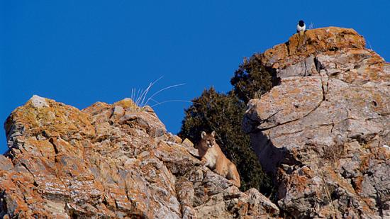 Image of Ever the hunter, a mother cougar, joined by a magpie perched above her, surveys the landscape of the Jackson Hole National Elk Refuge for prey.