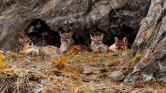 Image of A mother cougar and her kittens relax in a den on Millers Butte, just outside of Jackson Hole Wyoming.