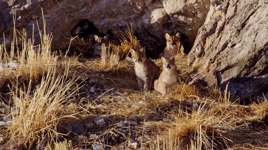 Image of A cougar mother (in rear) rests with her cubs at a den on Miller's Butte, outside of Jackson, WY, during the winter of 1999.