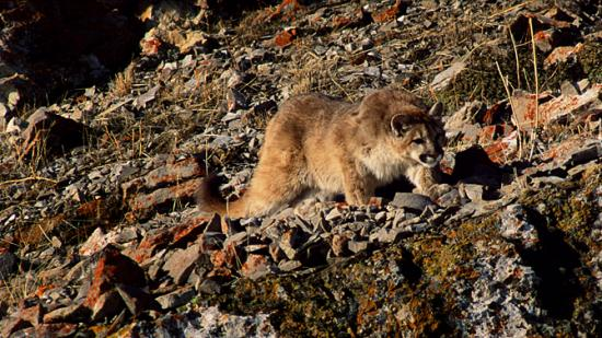 Image of A cougar kitten stalks one of its siblings on Millers Butte, outside of Jackson, WY