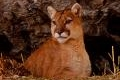 Characteristics of the Cougar
