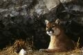 Portraits of the Cougar: Starting on February 14th, 1999, and for a period of approximately 40 days, photographer Tom Mangelsen had unprecedented access to a wild cougar mother and her three kittens. Tom's photos became the basis for the book Spirit of the Rockies, and the formation of The Cougar Fund.