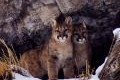 Kittens Gone Wild: During the late winter of 1999, Tom Mangelsen photographed and filmed a mother cougar and her two kittens outside Jackson, WY. This video includes rare footage of wild cougar kittens interacting with each other and their surroundings.